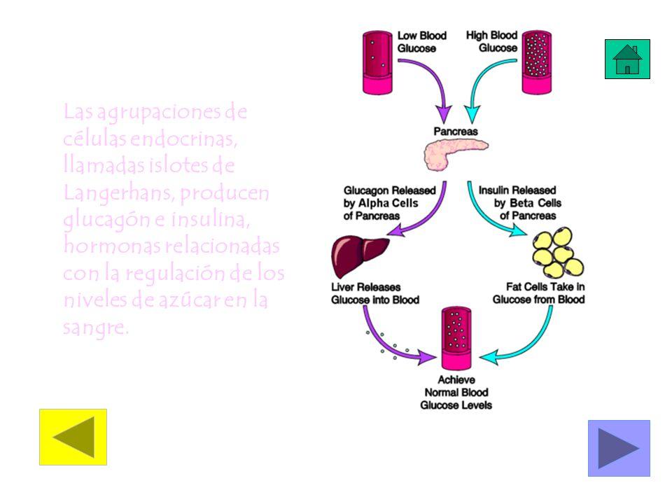 Las agrupaciones de células endocrinas, llamadas islotes de Langerhans, producen glucagón e insulina, hormonas relacionadas con la regulación de los n