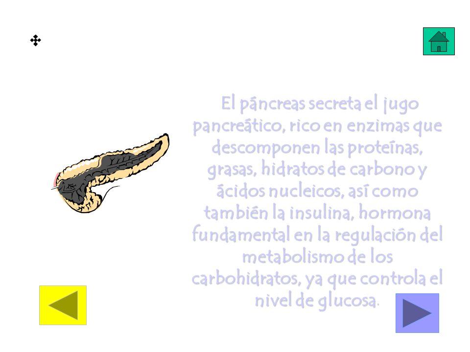 Trabajo del Páncreas El páncreas secreta el jugo pancreático, rico en enzimas que descomponen las proteínas, grasas, hidratos de carbono y ácidos nucl