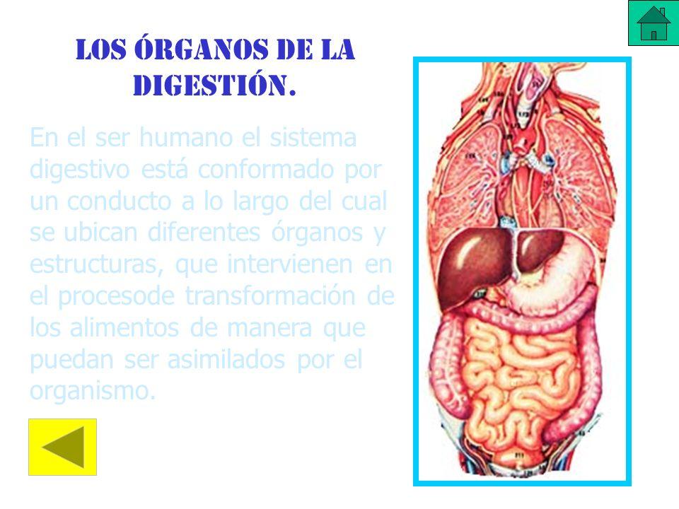 Los órganos de la digestión. En el ser humano el sistema digestivo está conformado por un conducto a lo largo del cual se ubican diferentes órganos y