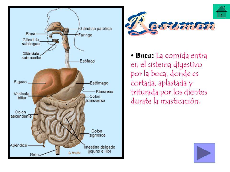 Boca: La comida entra en el sistema digestivo por la boca, donde es cortada, aplastada y triturada por los dientes durate la masticación. Boca: La com