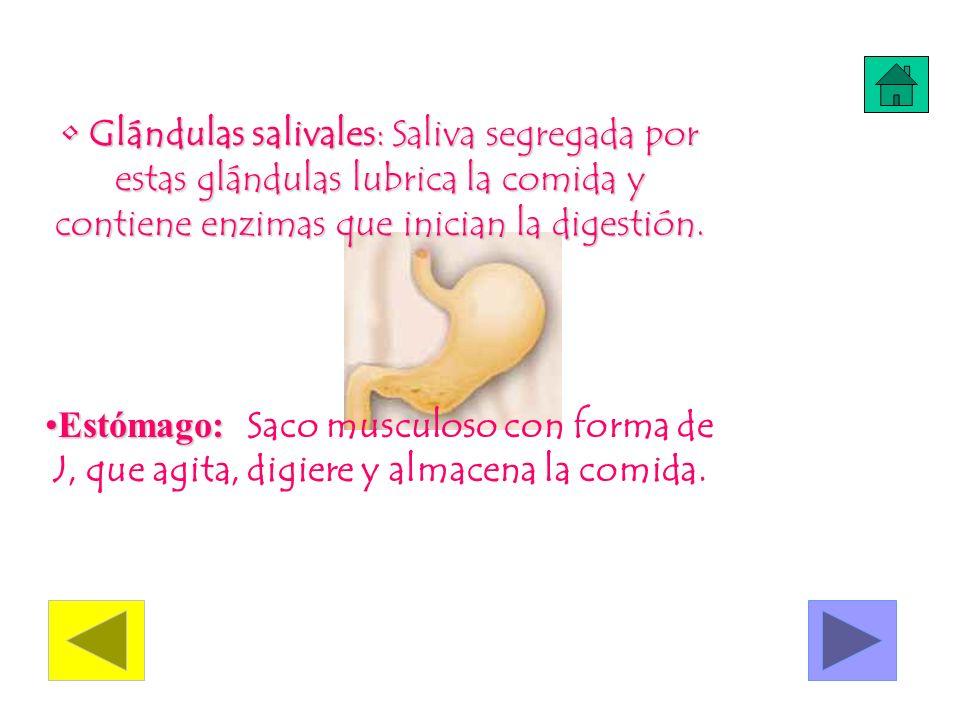 Glándulas salivales: Saliva segregada por estas glándulas lubrica la comida y contiene enzimas que inician la digestión. Glándulas salivales: Saliva s