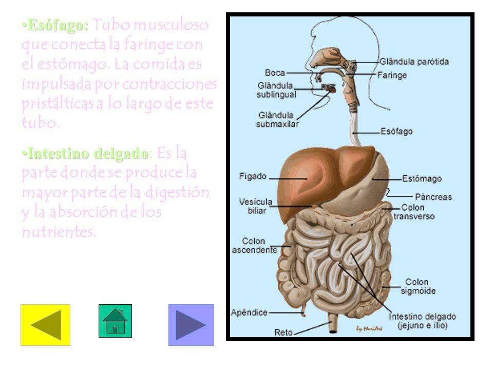 Esófago:Esófago: Tubo musculoso que conecta la faringe con el estómago. La comida es impulsada por contracciones pristálticas a lo largo de este tubo.