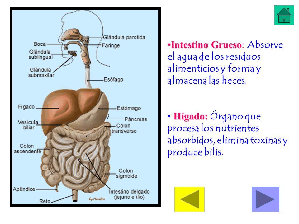 Intestino GruesoIntestino Grueso: Absorve el agua de los residuos alimenticios y forma y almacena las heces. Hígado: Hígado: Órgano que procesa los nu