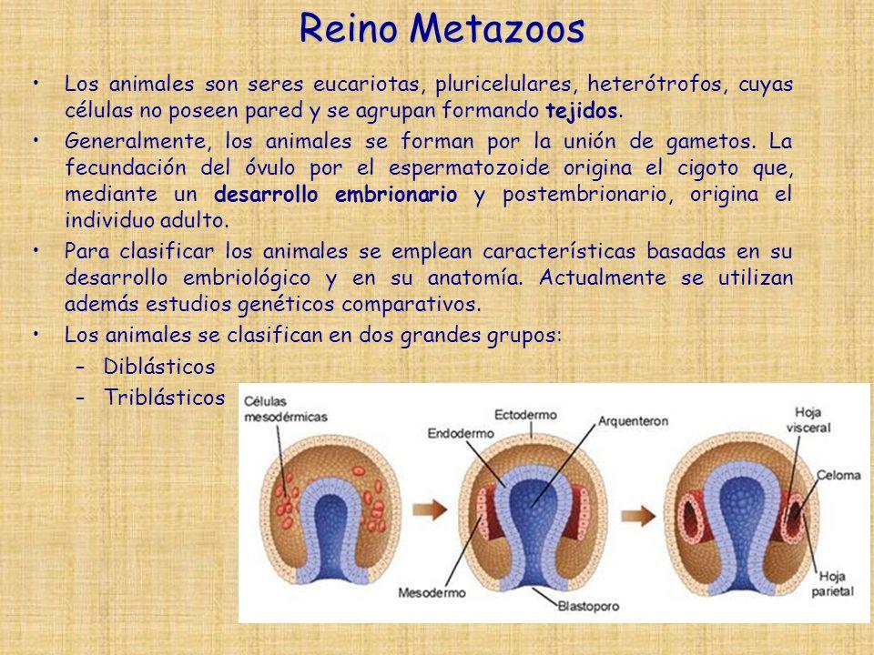 Reino Metazoos Los animales son seres eucariotas, pluricelulares, heterótrofos, cuyas células no poseen pared y se agrupan formando tejidos.