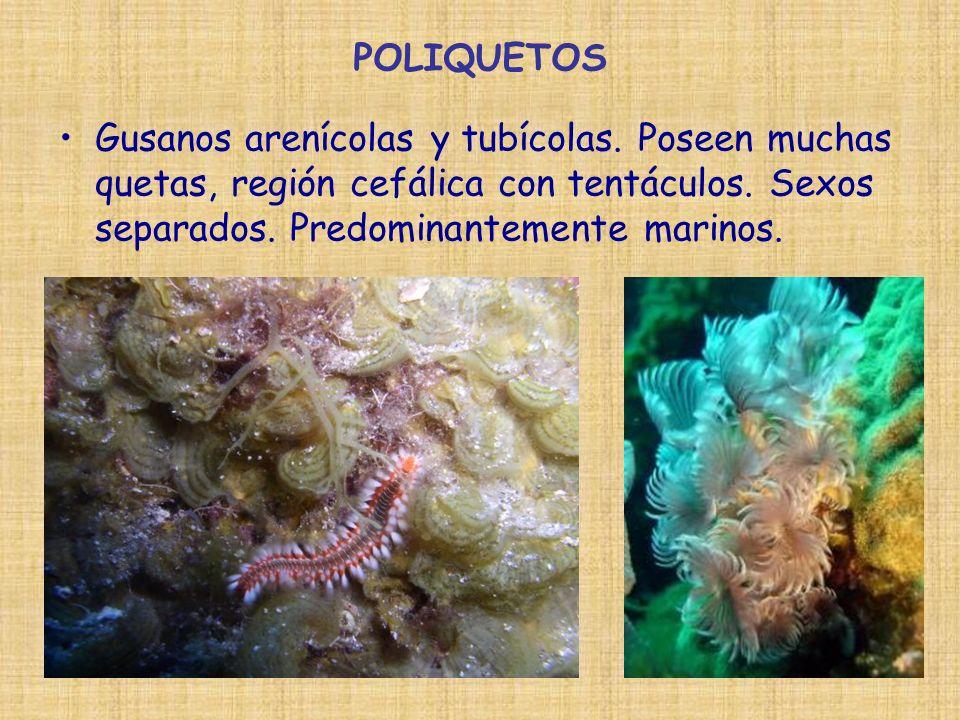 POLIQUETOS Gusanos arenícolas y tubícolas. Poseen muchas quetas, región cefálica con tentáculos. Sexos separados. Predominantemente marinos.