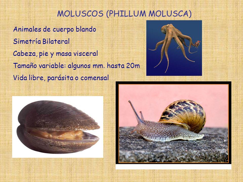 MOLUSCOS (PHILLUM MOLUSCA) Animales de cuerpo blando Simetría Bilateral Cabeza, pie y masa visceral Tamaño variable: algunos mm. hasta 20m Vida libre,