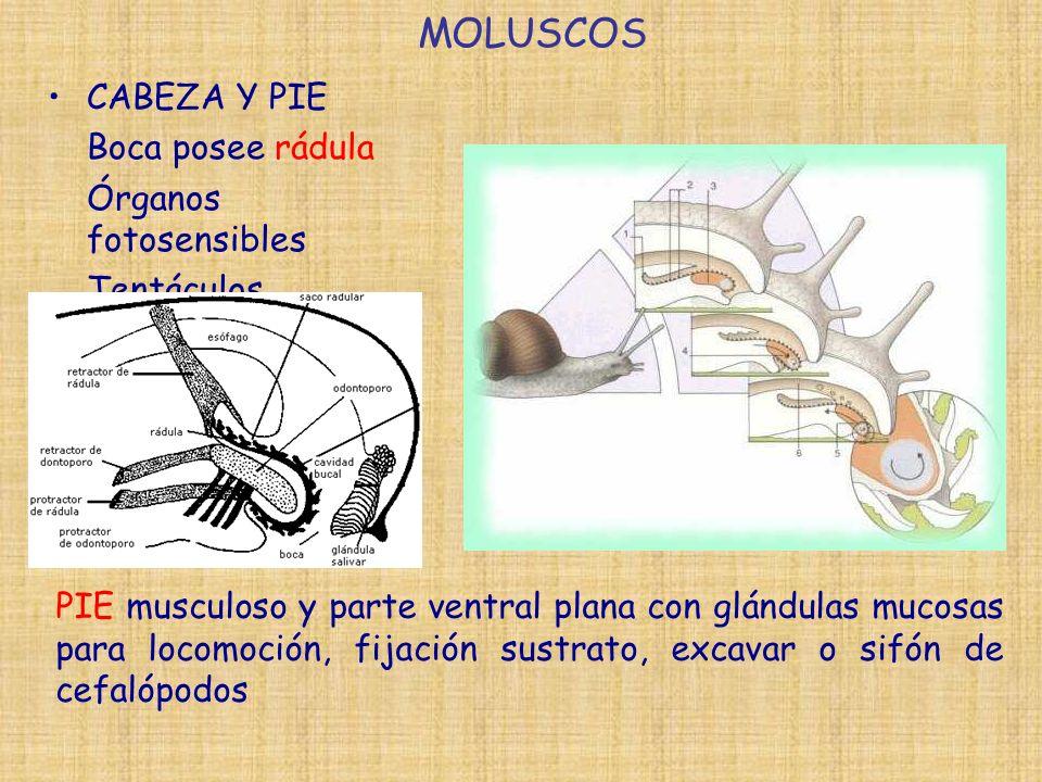 CABEZA Y PIE Boca posee rádula Órganos fotosensibles Tentáculos MOLUSCOS PIE musculoso y parte ventral plana con glándulas mucosas para locomoción, fijación sustrato, excavar o sifón de cefalópodos