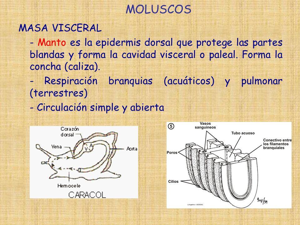 MOLUSCOS MASA VISCERAL - Manto es la epidermis dorsal que protege las partes blandas y forma la cavidad visceral o paleal. Forma la concha (caliza). -
