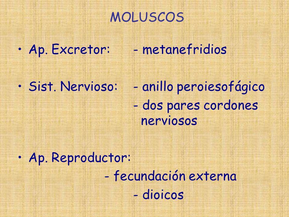 MOLUSCOS Ap. Excretor:- metanefridios Sist. Nervioso:- anillo peroiesofágico - dos pares cordones nerviosos Ap. Reproductor: - fecundación externa - d