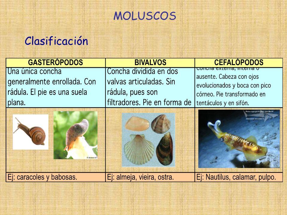 MOLUSCOS Clasificación