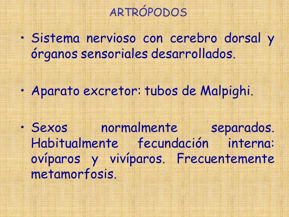 ARTRÓPODOS Sistema nervioso con cerebro dorsal y órganos sensoriales desarrollados. Aparato excretor: tubos de Malpighi. Sexos normalmente separados.