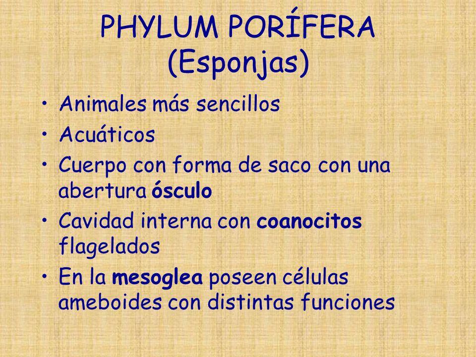 PHYLUM PORÍFERA (Esponjas) Animales más sencillos Acuáticos Cuerpo con forma de saco con una abertura ósculo Cavidad interna con coanocitos flagelados