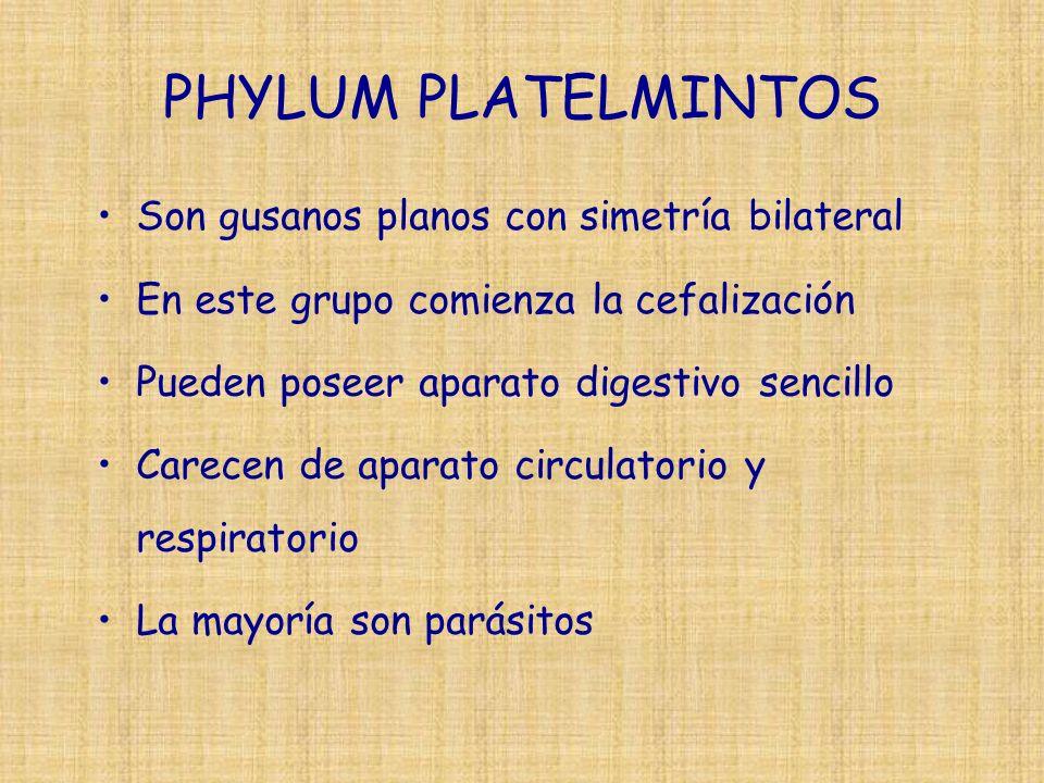 PHYLUM PLATELMINTOS Son gusanos planos con simetría bilateral En este grupo comienza la cefalización Pueden poseer aparato digestivo sencillo Carecen de aparato circulatorio y respiratorio La mayoría son parásitos