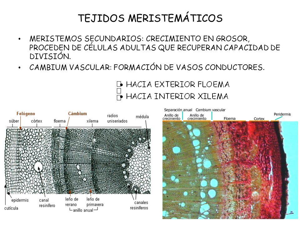 TEJIDOS MERISTEMÁTICOS CAMBIUM SUBEROSO O FELÓGENO: SE LOCALIZA BAJO EPIDERMIS