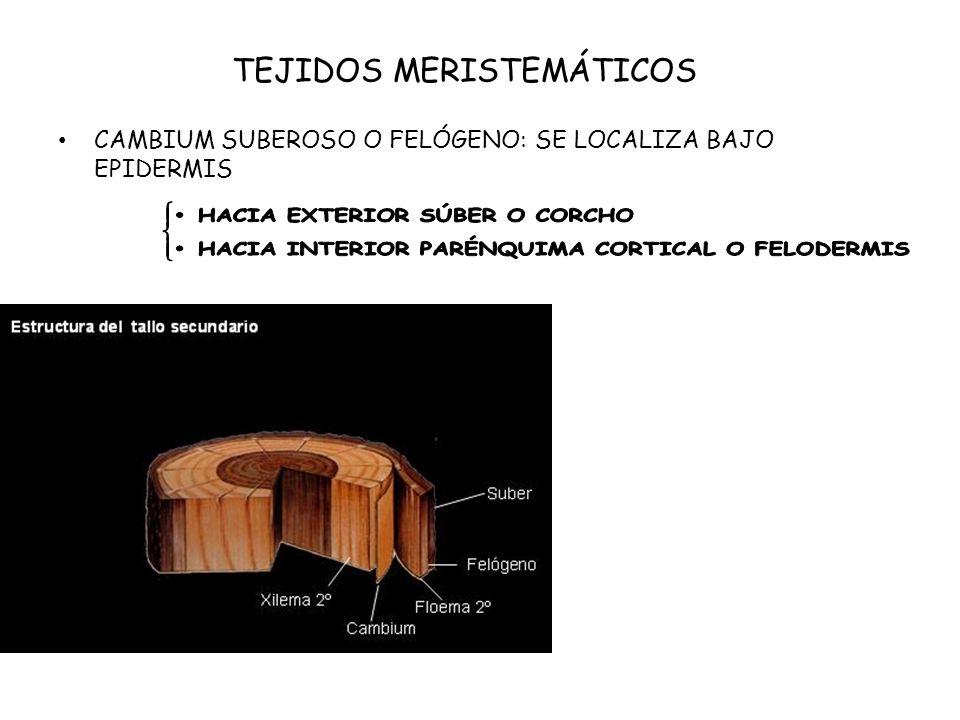 TEJIDOS CONDUCTORES FLOEMA O LÍBER Transporta savia elaborada Elementos cribosos por células alargadas, vivas pero sin núcleo, con tabiques perforados llamados placas cribosas que foman tubos cribosos.