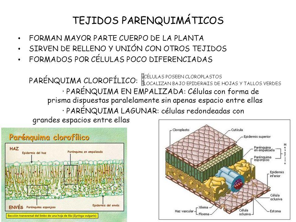 TEJIDOS PARENQUIMÁTICOS PARÉNQUIMA DE RESERVA (ALMIDÓN): RAÍCES, TALLOS, SEMILLAS Y FRUTOS.