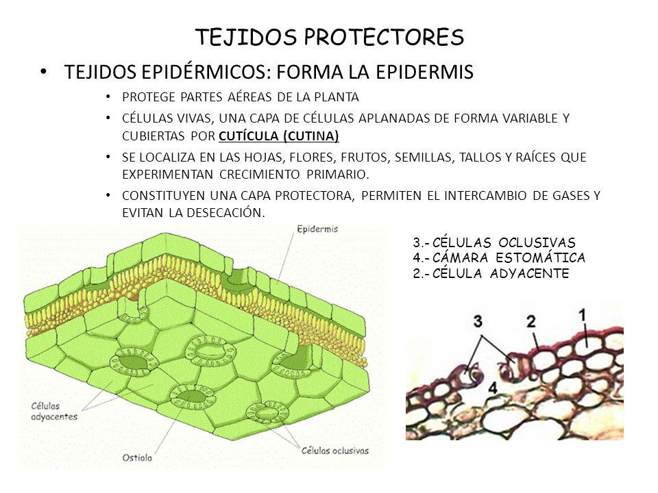 TEJIDOS EPIDÉRMICOS ESTRUCTURA DE HOJA Y ESTOMAS PELOS Y TRICOMAS