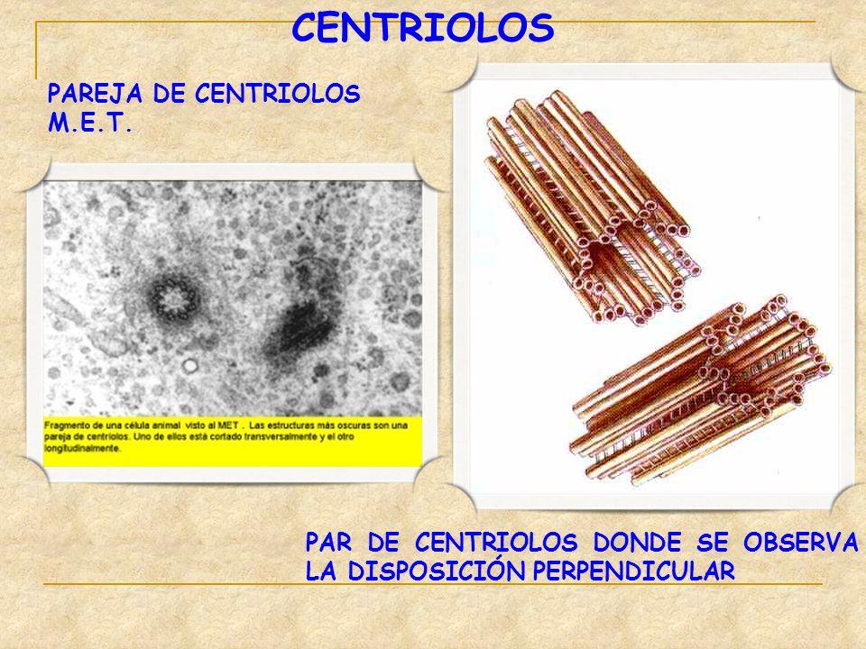 CENTRIOLOS PAREJA DE CENTRIOLOS M.E.T. PAR DE CENTRIOLOS DONDE SE OBSERVA LA DISPOSICIÓN PERPENDICULAR
