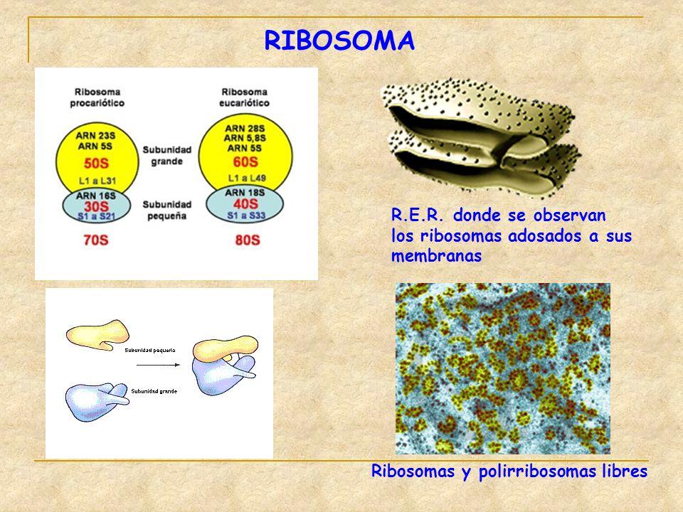 RIBOSOMA R.E.R. donde se observan los ribosomas adosados a sus membranas Ribosomas y polirribosomas libres