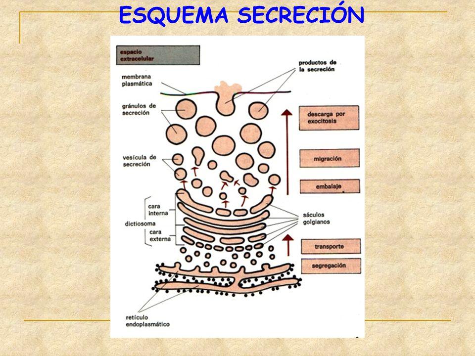 ESQUEMA SECRECIÓN
