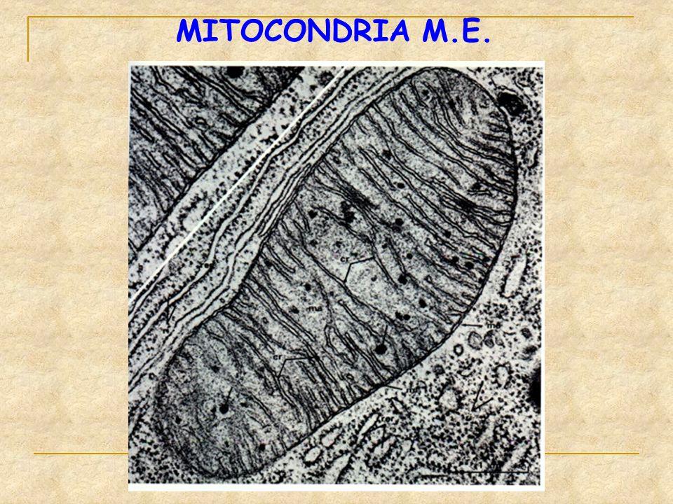 MITOCONDRIA M.E.