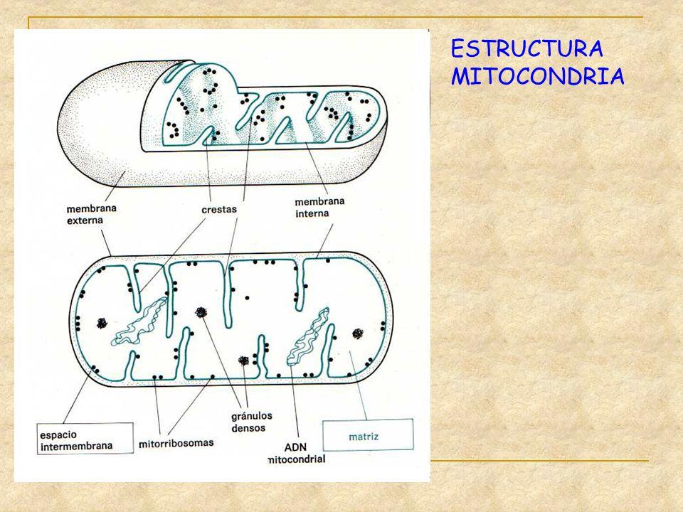 ESTRUCTURA MITOCONDRIA