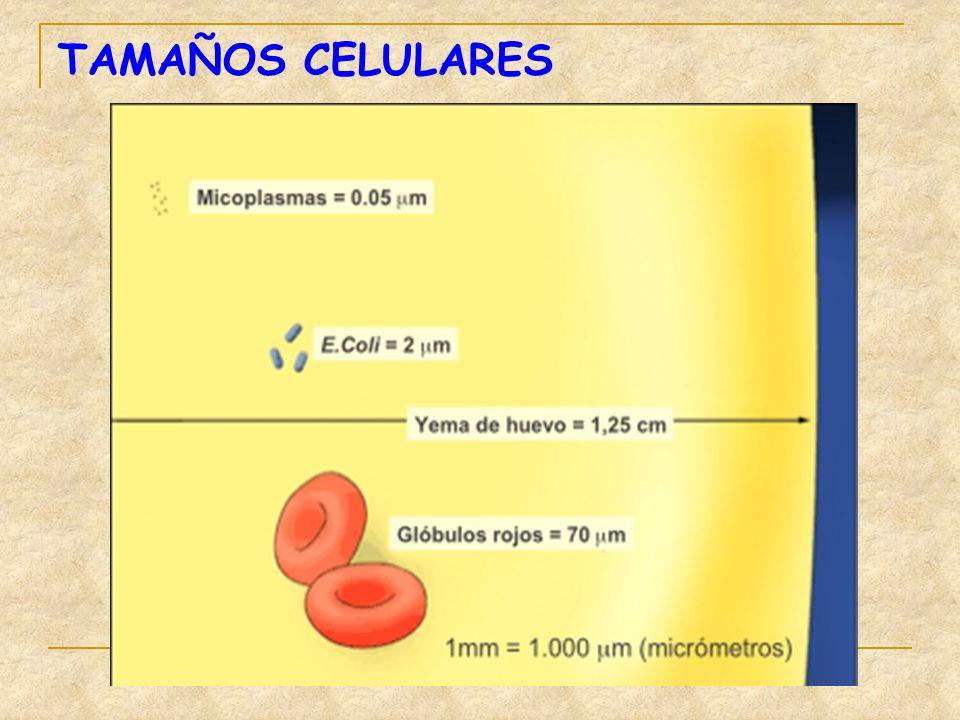 TAMAÑOS CELULARES
