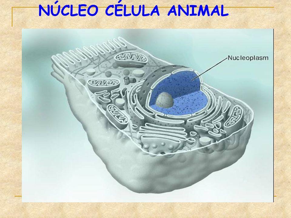NÚCLEO CÉLULA ANIMAL