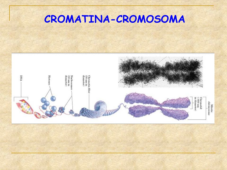 CROMATINA-CROMOSOMA