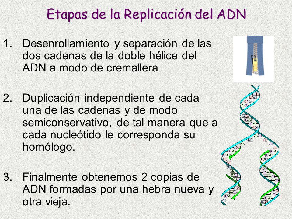 Etapas de la Replicación del ADN 1.Desenrollamiento y separación de las dos cadenas de la doble hélice del ADN a modo de cremallera 2.Duplicación inde