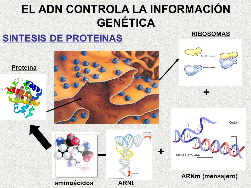 EL ADN CONTROLA LA INFORMACIÓN GENÉTICA SINTESIS DE PROTEINAS + + RIBOSOMAS ARNm (mensajero) aminoácidosARNt Proteína