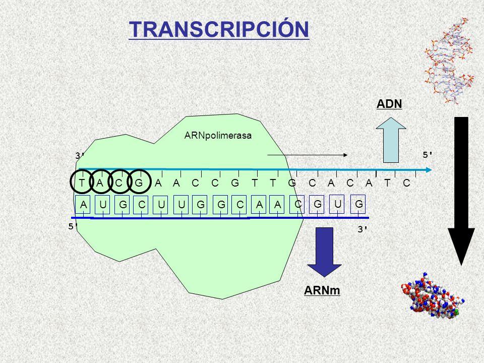T A C G A A C C G T T G C A C A T C AUGCUUGGCAACGUG ARNpolimerasa TRANSCRIPCIÓN ADN ARNm