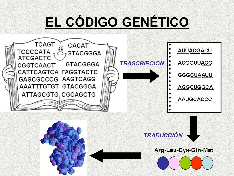 EL CÓDIGO GENÉTICO Arg-Leu-Cys-Gln-Met TRADUCCIÓN TRASCRIPCIÓN