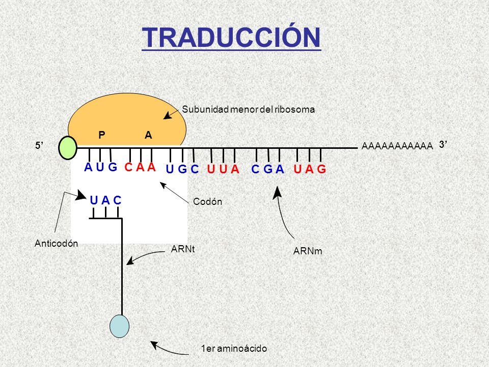 1er aminoácido ARNt Anticodón Codón ARNm Subunidad menor del ribosoma AAAAAAAAAAA P A A U G C A A U A C 5 3 U G C U U A C G AU A G TRADUCCIÓN