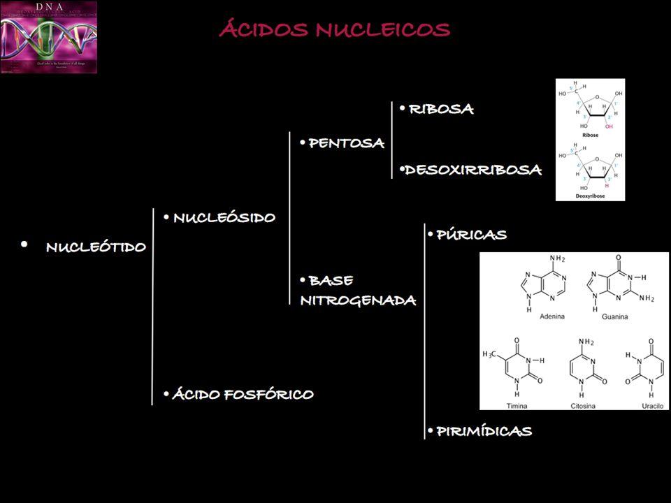 AAAAAAAAAAA P A A U G C A A 5 3 Gln-Met G U U U G C U U A C G A U A G ARNm TRADUCCIÓN
