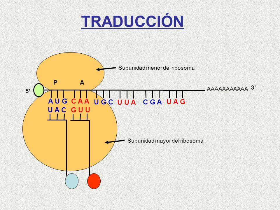 Met Subunidad menor del ribosoma AAAAAAAAAAA P A A U G C A A U A C 5 3 Gln G U U U G C U U A C G A U A G TRADUCCIÓN Subunidad mayor del ribosoma