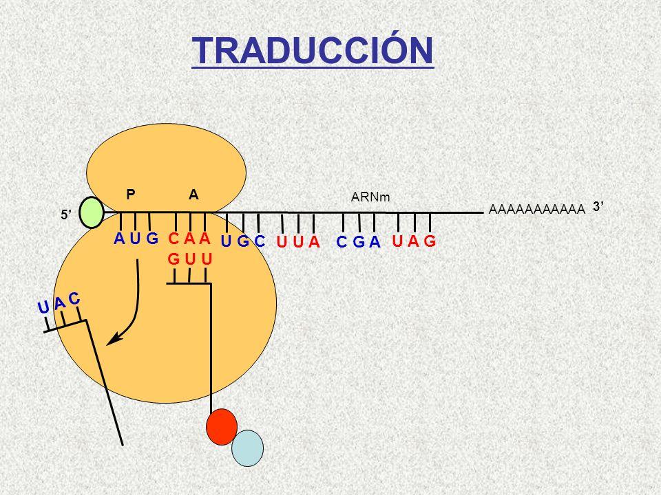 AAAAAAAAAAA P A A U G C A A 5 U A C Gln-Met G U U U G C U U A C G A U A G ARNm 3 TRADUCCIÓN