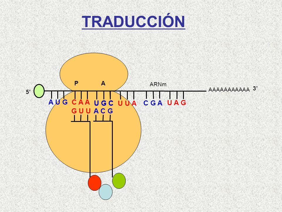 AAAAAAAAAAA P A A U G C A A 5 Gln-Met G U U U G C U U A C G A U A G ARNm 3 A C G Cys TRADUCCIÓN