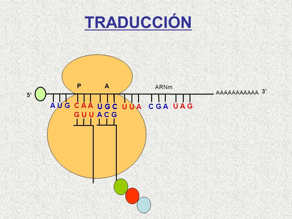 AAAAAAAAAAA P A A U G C A A 5 G U U U G C U U A C G A U A G ARNm 3 A C G Cys-Gln-Met TRADUCCIÓN