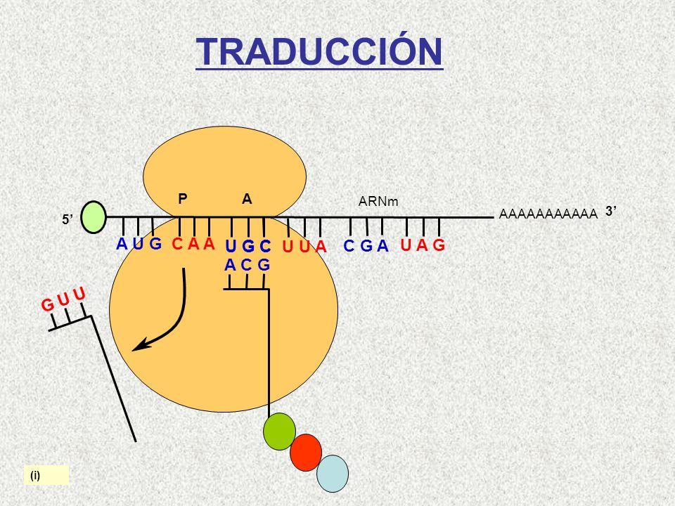 AAAAAAAAAAA P A A U G C A A 5 U G C U U A C G A U A G ARNm 3 G U U A C G Cys-Gln-Met (i) TRADUCCIÓN