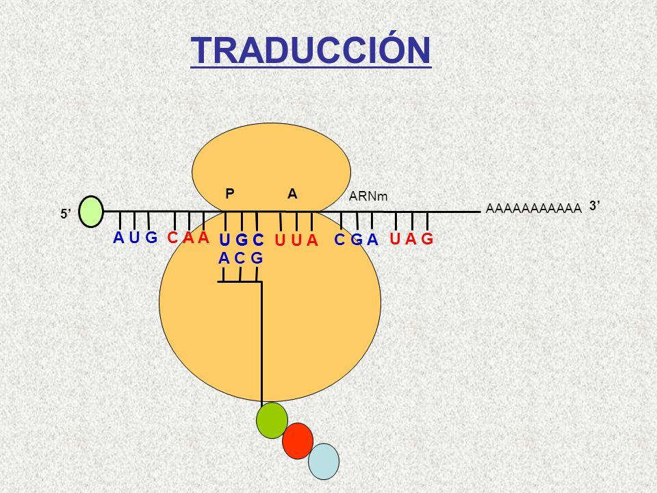 AAAAAAAAAAA P A A U G C A A 5 U G C U U A C G A U A G ARNm 3 A C G Cys-Gln-Met TRADUCCIÓN