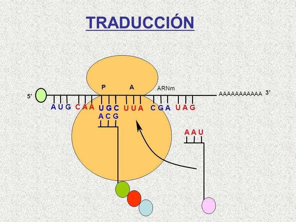 AAAAAAAAAAA P A A U G C A A 5 U G C U U A C G A U A G ARNm 3 A C G Cys-Gln-Met A A U Leu TRADUCCIÓN