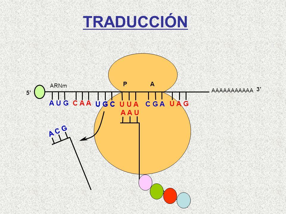 AAAAAAAAAAA P A A U G C A A 5 U G C U U A C G A U A G ARNm 3 A C G A A U Leu-Cys-Gln-Met TRADUCCIÓN
