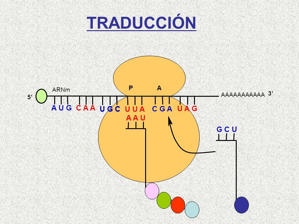 AAAAAAAAAAA P A A U G C A A 5 U G C U U A C G A U A G ARNm 3 A A U Leu-Cys-Gln-Met G C U Arg TRADUCCIÓN