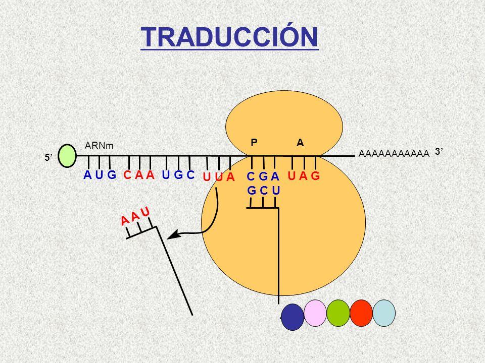AAAAAAAAAAA P A A U G C A A 5 U G C U U A C G A U A G ARNm 3 A A U Arg-Leu-Cys-Gln-Met G C U TRADUCCIÓN