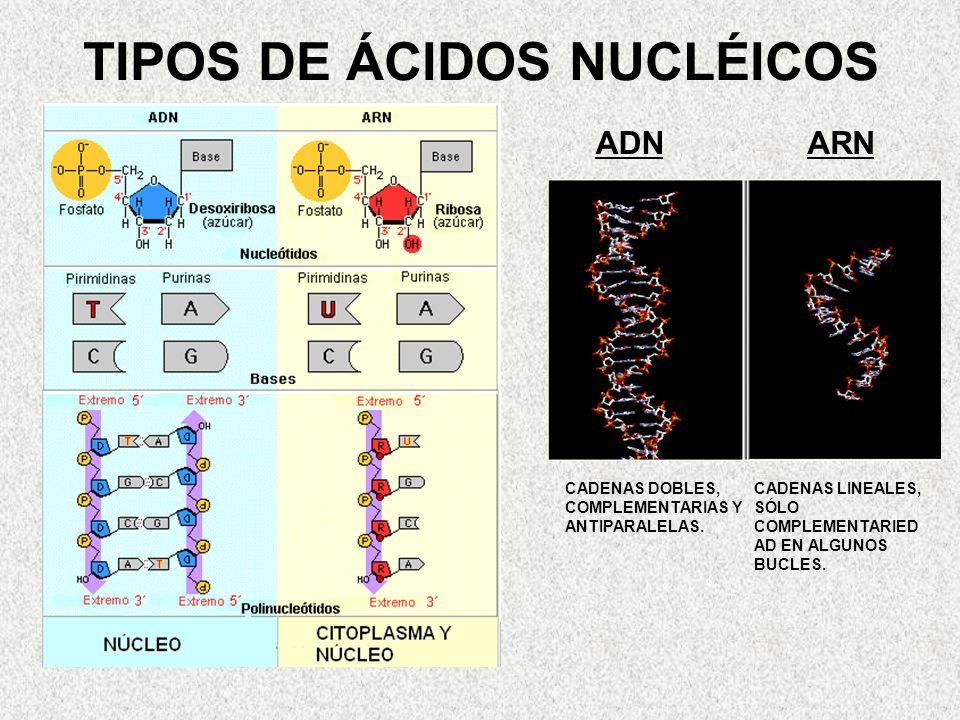 TIPOS DE ÁCIDOS NUCLÉICOS ADNARN CADENAS DOBLES, COMPLEMENTARIAS Y ANTIPARALELAS. CADENAS LINEALES, SÓLO COMPLEMENTARIED AD EN ALGUNOS BUCLES.