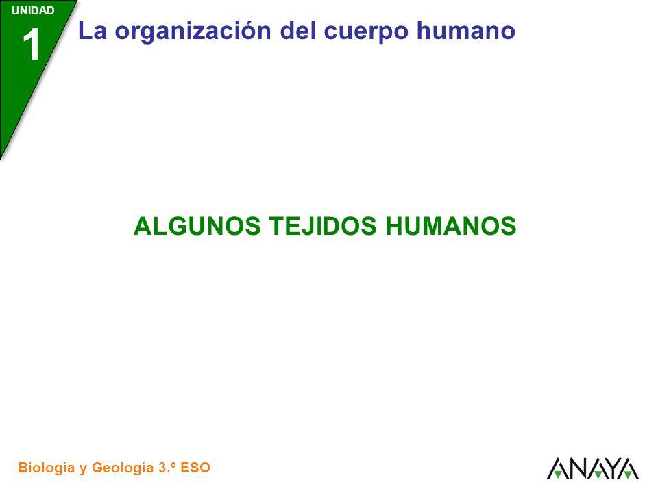 UNIDAD 1 La organización del cuerpo humano Biología y Geología 3.º ESO ALGUNOS TEJIDOS HUMANOS