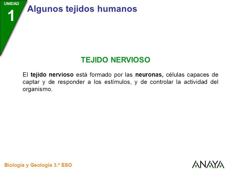 UNIDAD 3 Biología y Geología 3.º ESO UNIDAD 1 Algunos tejidos humanos TEJIDO NERVIOSO El tejido nervioso está formado por las neuronas, células capace