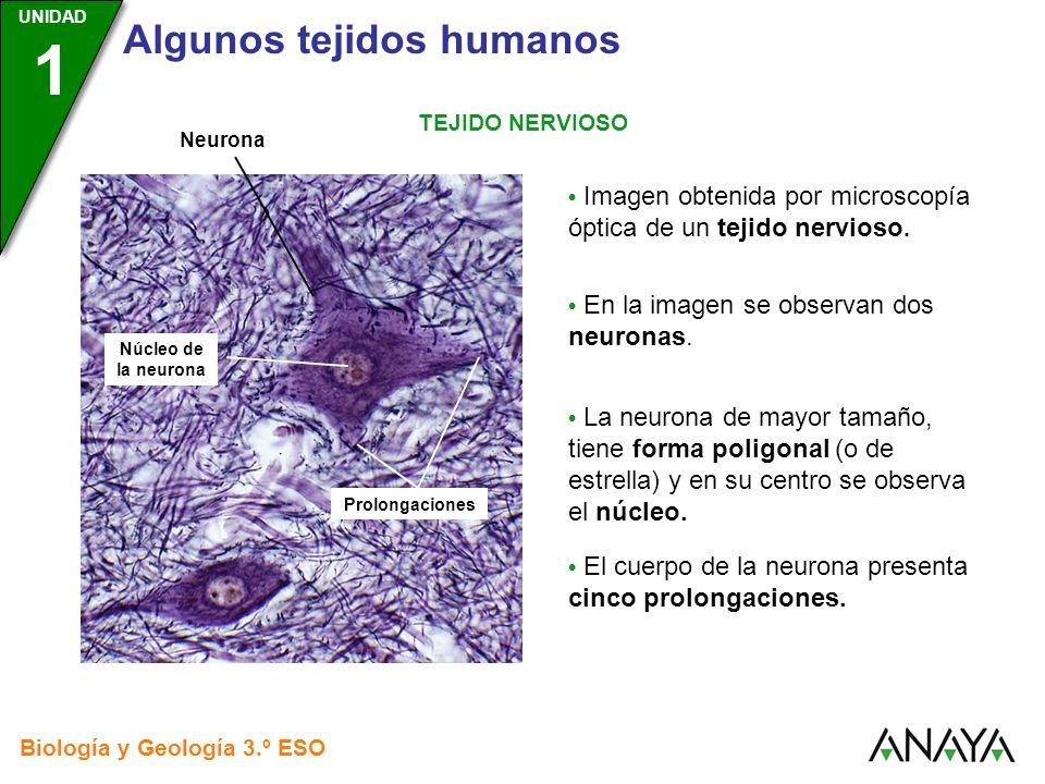 UNIDAD 3 Biología y Geología 3.º ESO UNIDAD 1 Algunos tejidos humanos TEJIDO NERVIOSO Imagen obtenida por microscopía óptica de un tejido nervioso. En