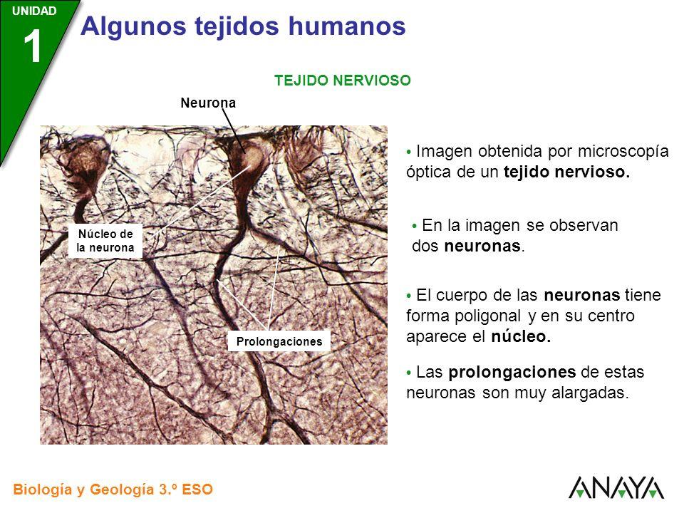UNIDAD 3 Biología y Geología 3.º ESO UNIDAD 1 Algunos tejidos humanos TEJIDO NERVIOSO Imagen obtenida por microscopía óptica de un tejido nervioso. Pr